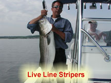 Stripers on Live Bunker