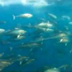 Underwater Tuna Video