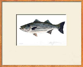 Phrase striped drum fish