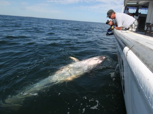 900lb+ Giant Bluefin Tuna caught and released by Capt Andy