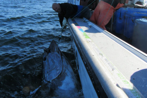 Giant Bluefin Tuna on Stand Up - Prince Edward Island